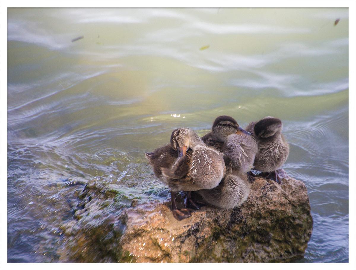 Entchen im Gardasee
