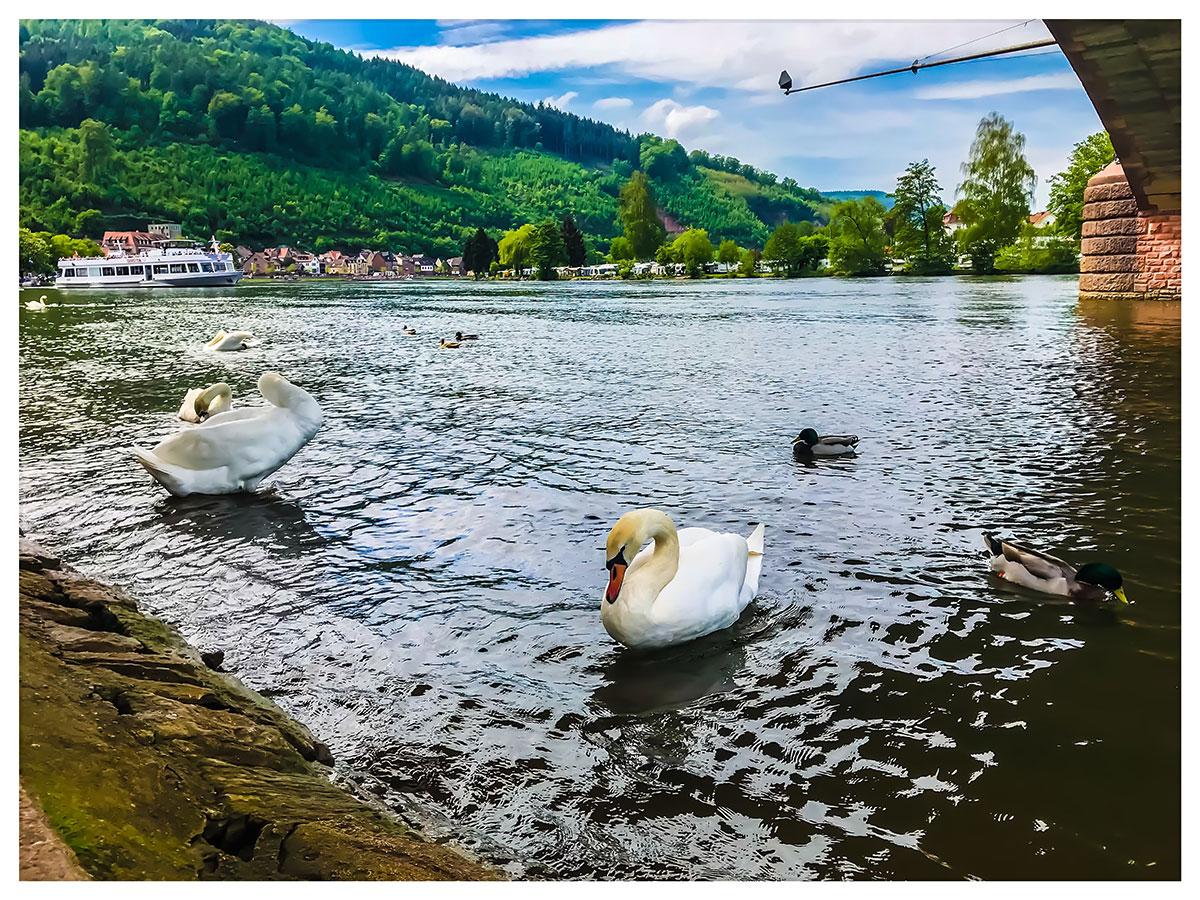 Wieviele Schwäne schwimmen auf dem Hollersee?